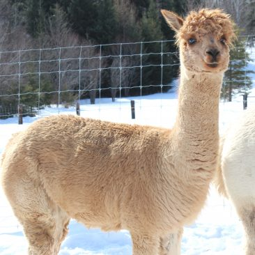 Mha Ginger Female Alpaca