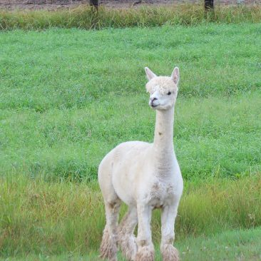 Mha Jessie Female Alpaca